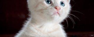 Aanschaf van een kat