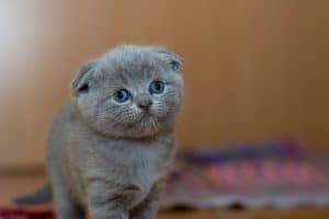Dierenverzekering vergelijken- Kat