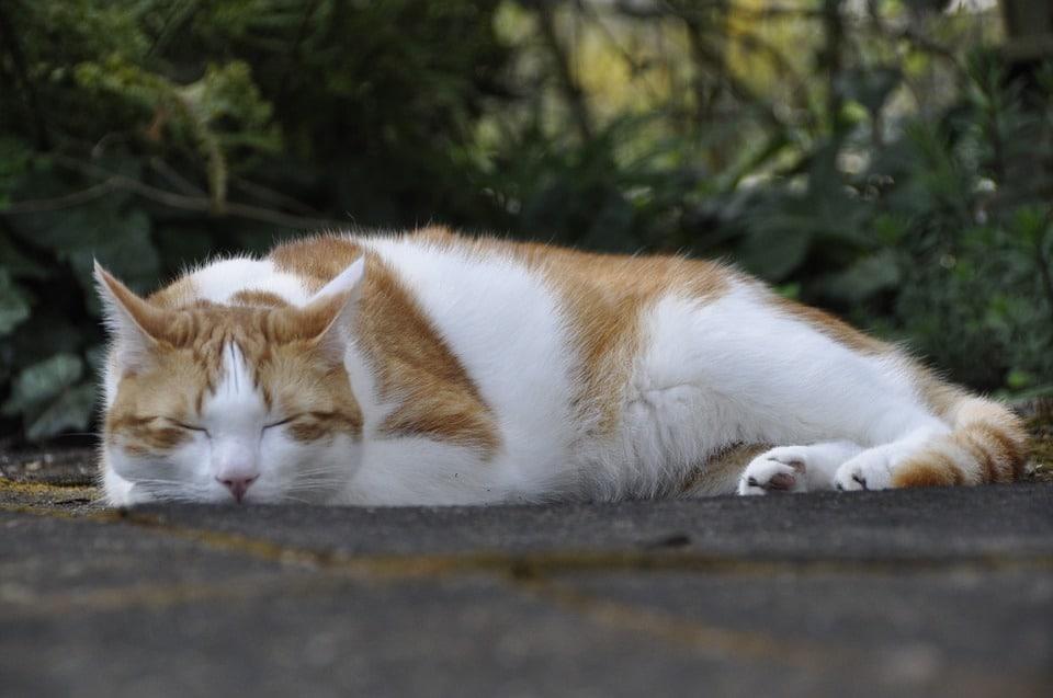 Sterilisatie verzekering voor katten