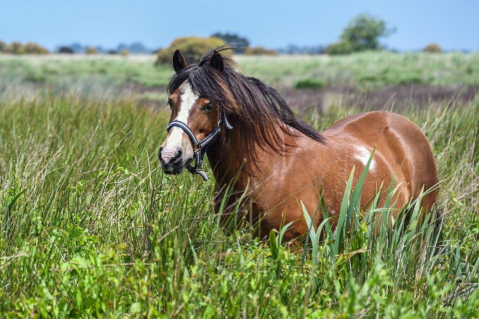 Ponyverzekering - Dierenverzekering-vergelijken.nl