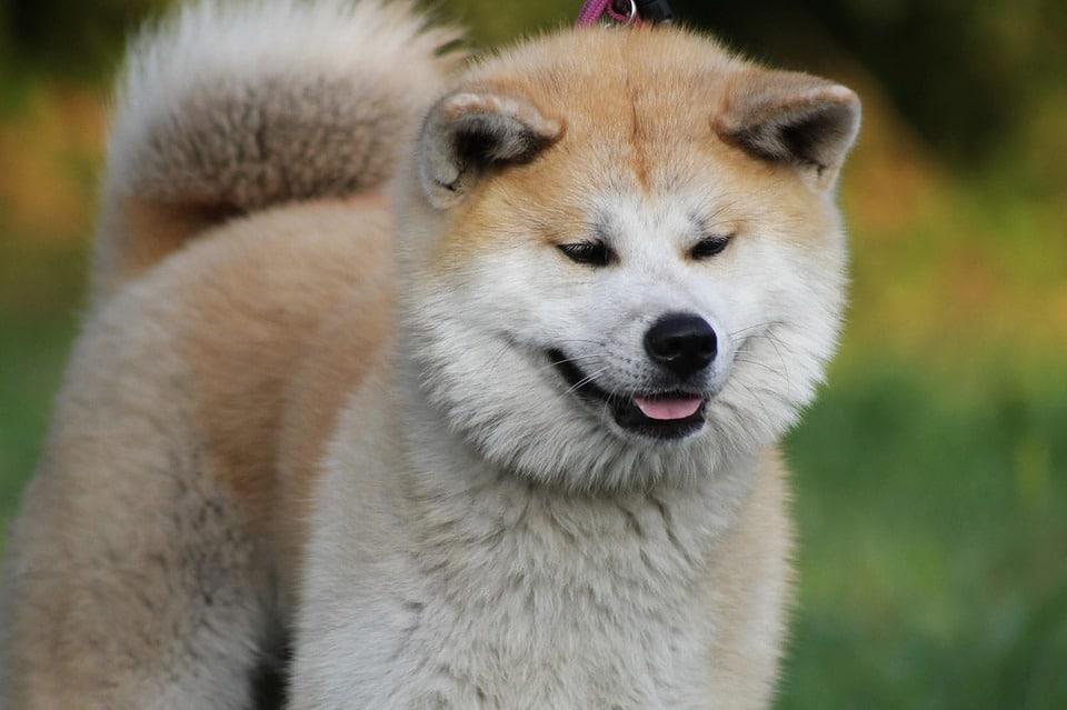 Akita - Top 10 Populaire Hondenrassen