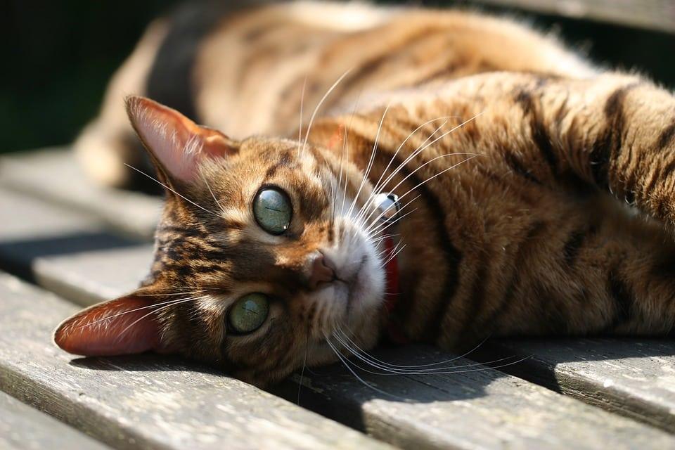 Bengaal - Top 10 Populaire Kattenrassen