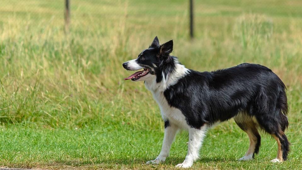 Border Collie - Top 10 Populaire Hondenrassen