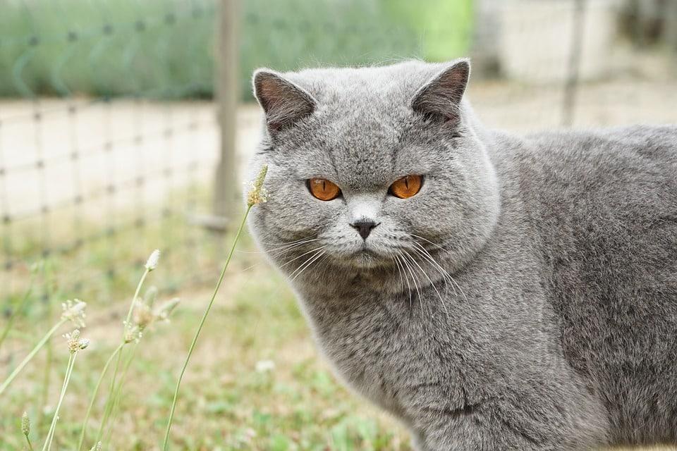 Britse Korthaar - Top 10 Populaire Kattenrassen