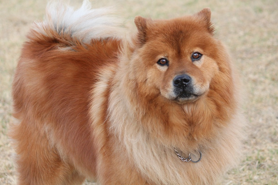 Chow Chow - Top 10 Populaire Hondenrassen