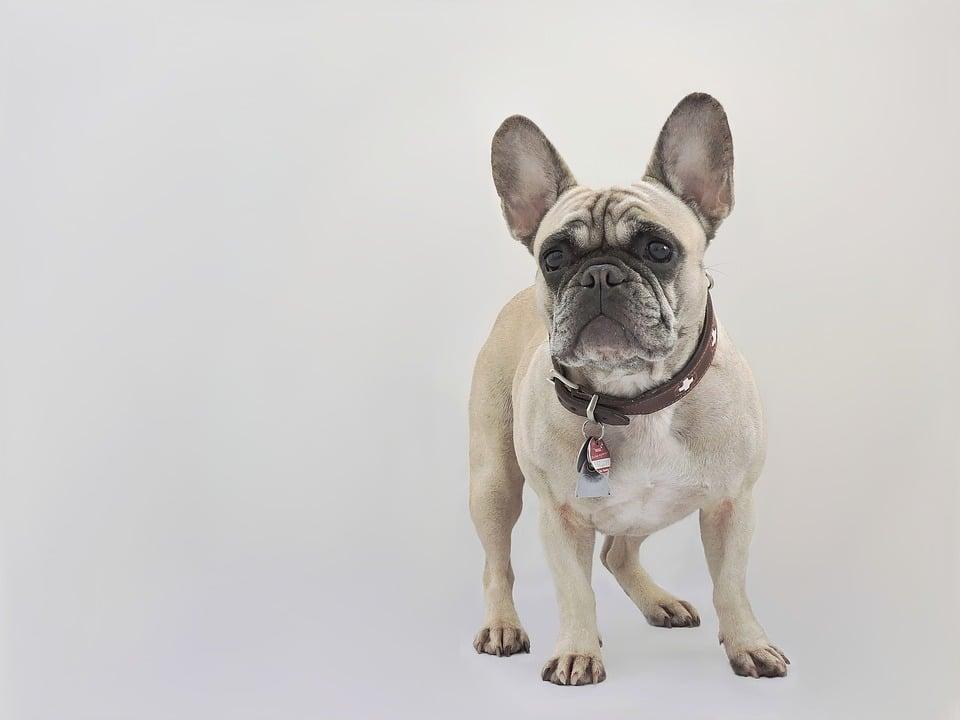 Franse Bulldog - Top 10 Populaire Hondenrassen