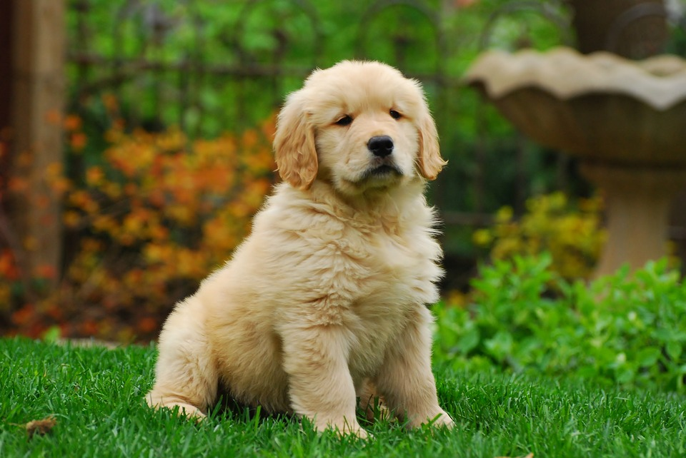 Golden Retriever - Top 10 Populaire Hondenrassen
