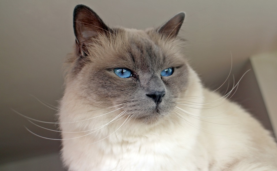 Heilige Birmaan - Top 10 Populaire Kattenrassen