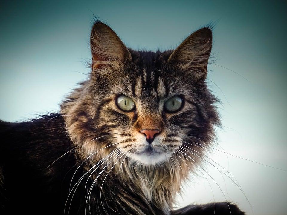 Maine Coon - Top 10 Populaire Kattenrassen