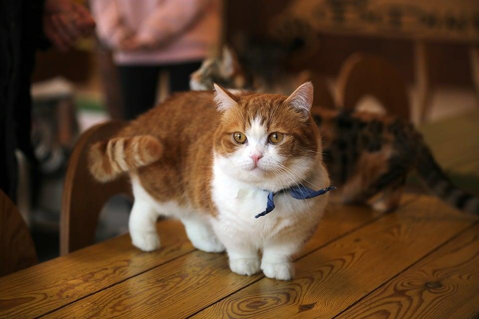 Munchkin - Top 10 Populaire Kattenrassen