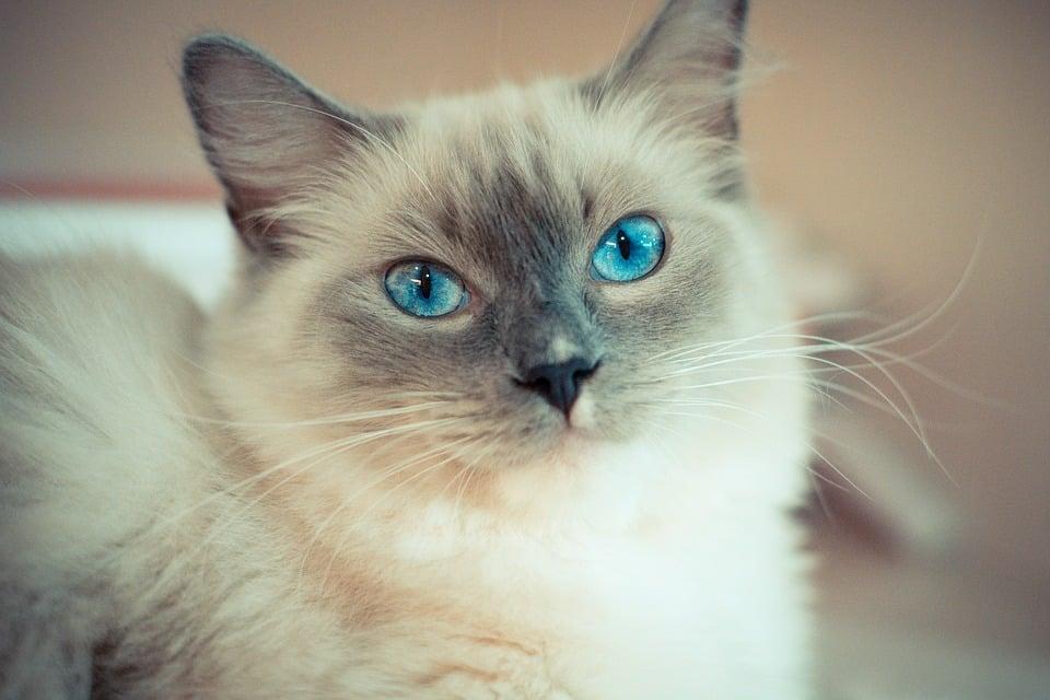 Ragdoll - Top 10 Populaire Kattenrassen