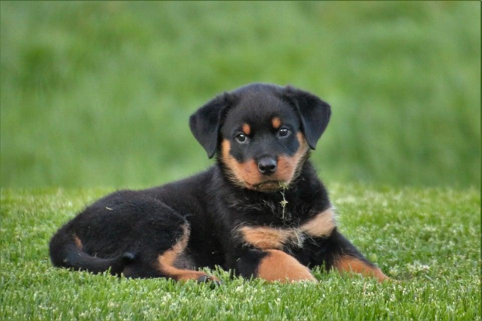 Rottweiler - Top 10 Populaire Hondenrassen