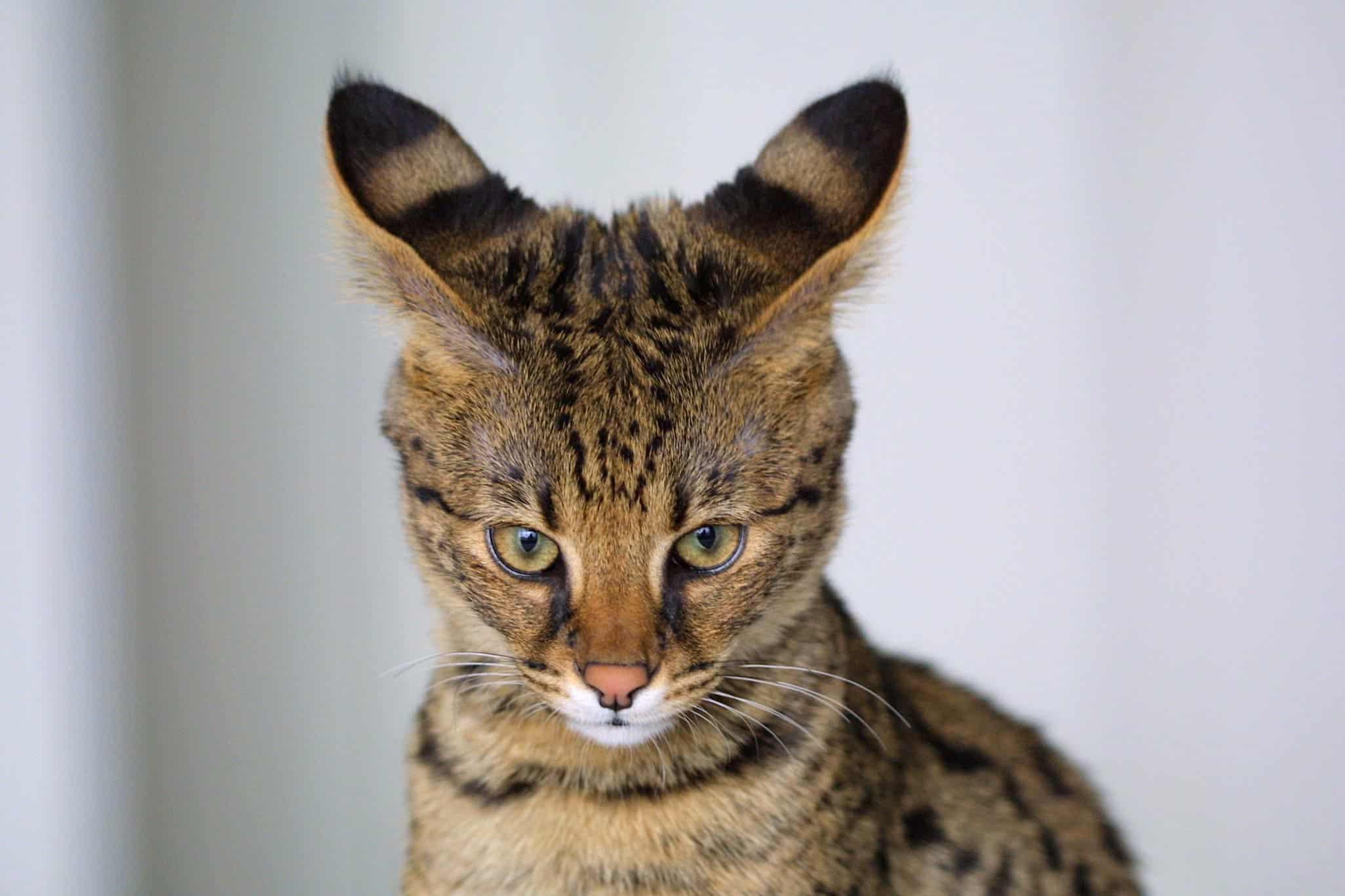 Savannah - Top 10 Populaire Kattenrassen