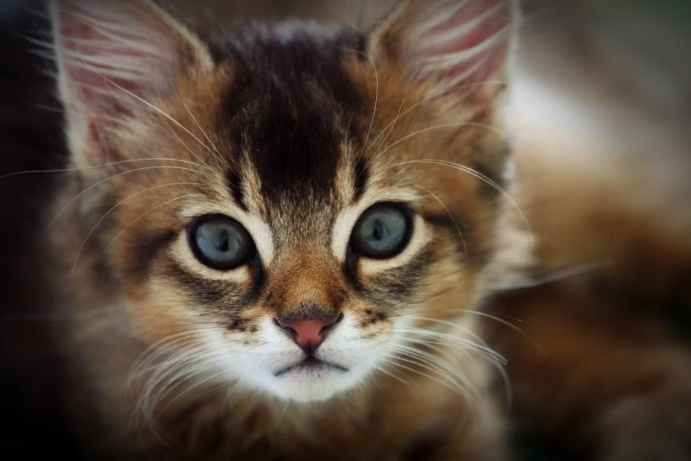 Somali - Top 10 Populaire Kattenrassen